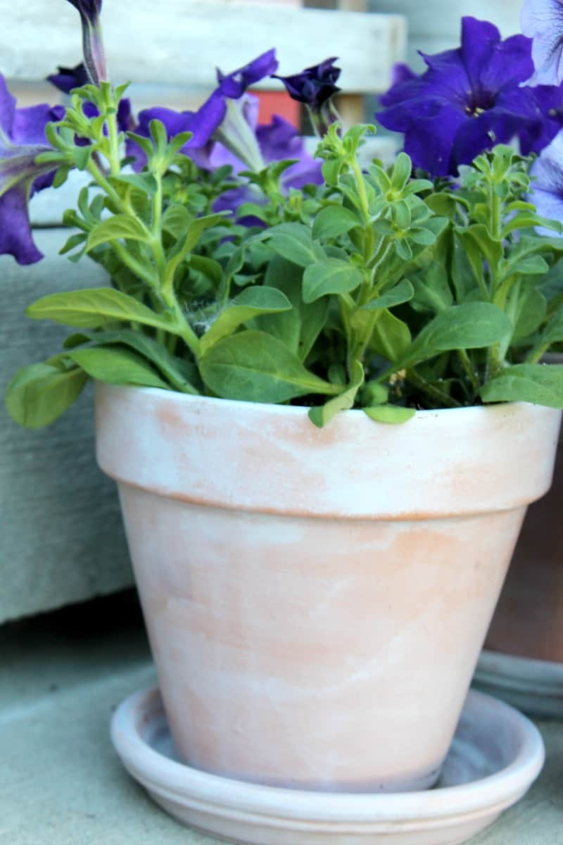Distressed DIY pot with spring, purple flowers.