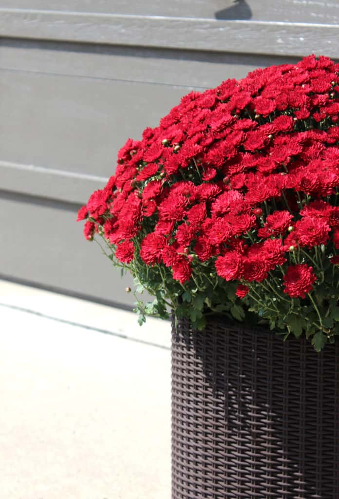 Red mums in fall decorating