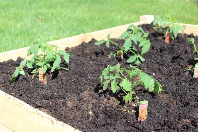 Small vegetable garden in 4 x 4 foot raised bed makes gardening low maintenance. #gardeningideas #gardeningtips