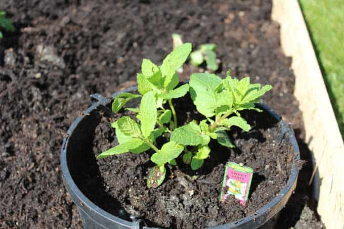 Sweet mint in a pot within the raised bed garden.