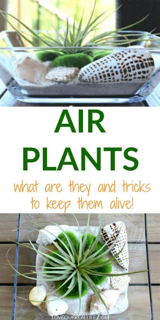Tricks to keep air plants alive