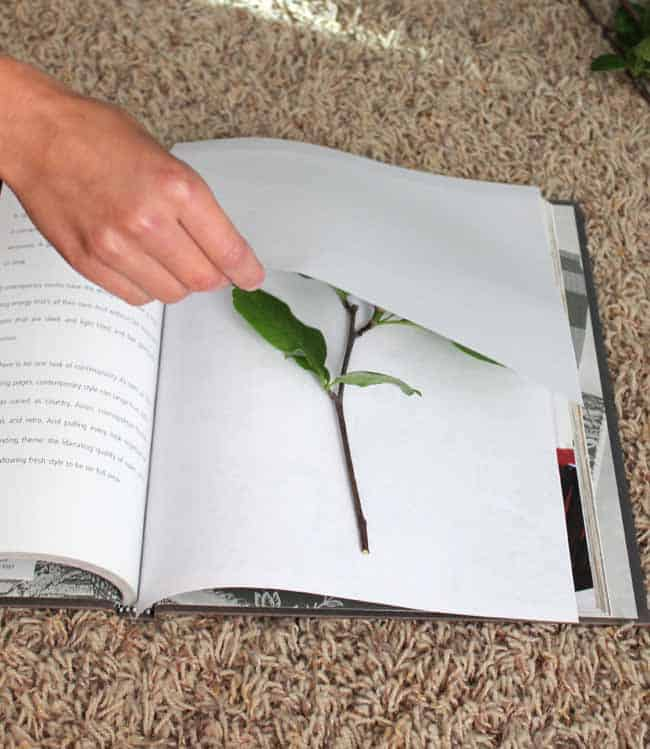 Pressing leaves between pages of a heavy book; pressed leaves in document frames for beautiful and personal home decor!