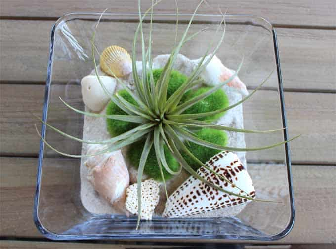 Air plant terrarium with sand and shells.