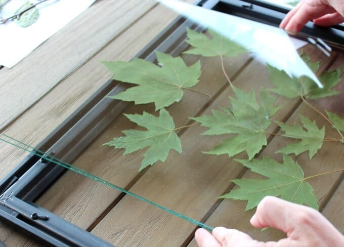 Glue leaves onto glass using rubber cement, then place other piece of glass on top.