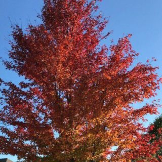 Maple tree in the fall with bright orange leaves