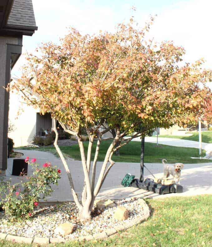 Multi-stem trunk ornamental maple tree by a driveway with a golden doodle in the background.