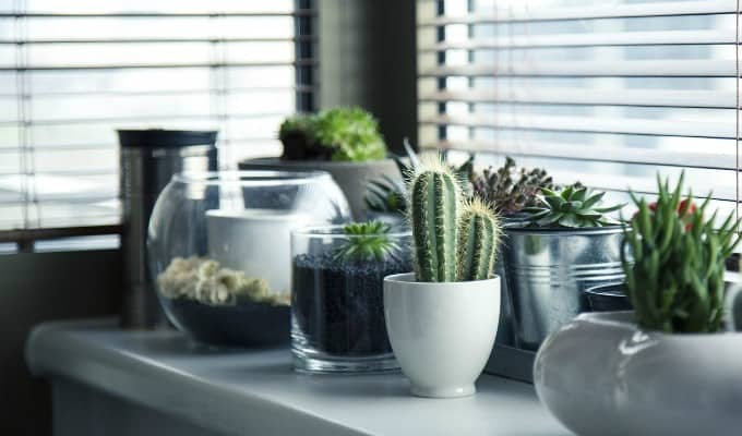Cacti and other plants on a desk by a window.