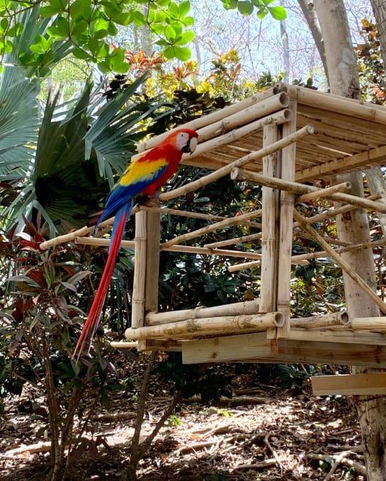 Parrot in Roatan Honduras