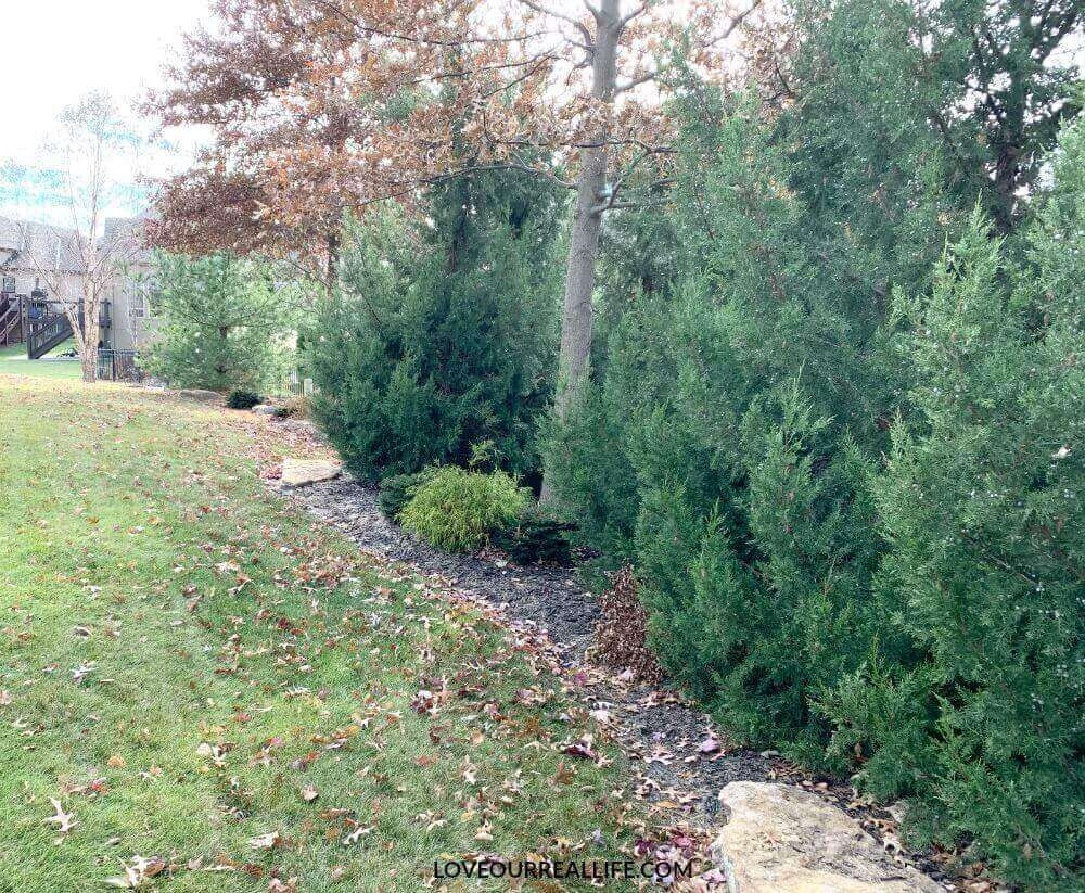 Privacy screen with evergreens in yard