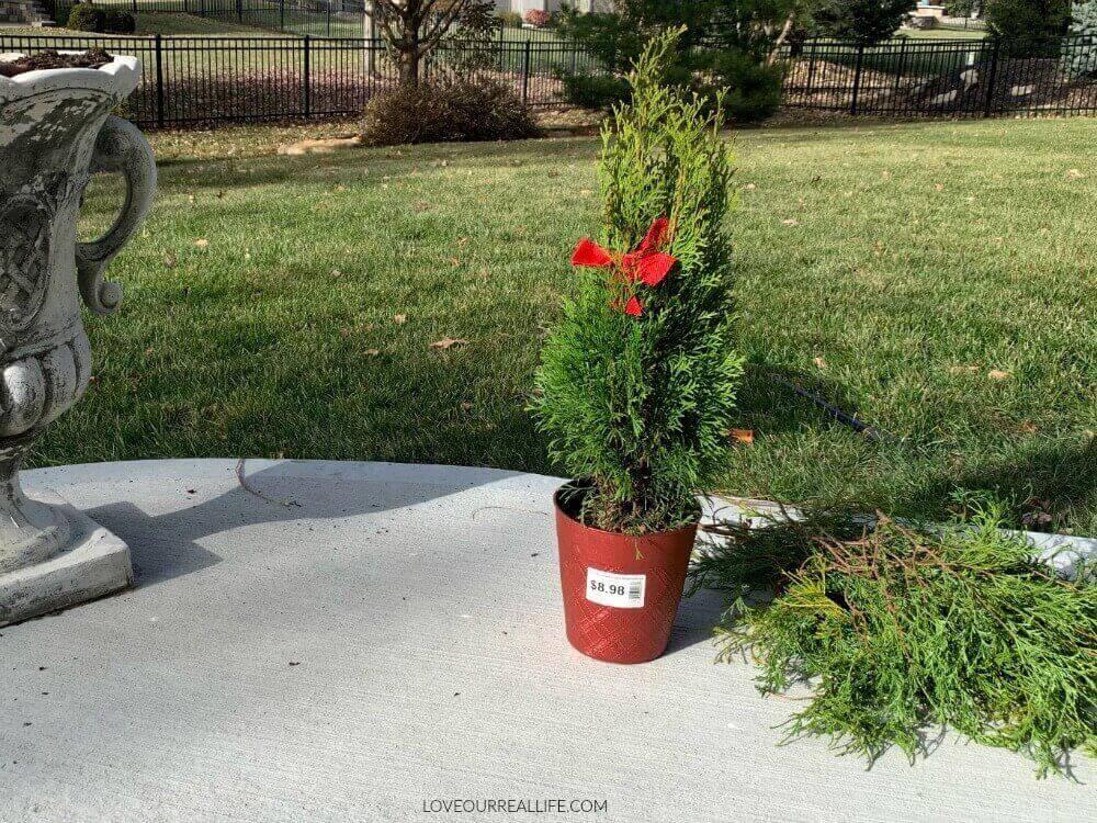 arborvitae from Home Depot for winter planter