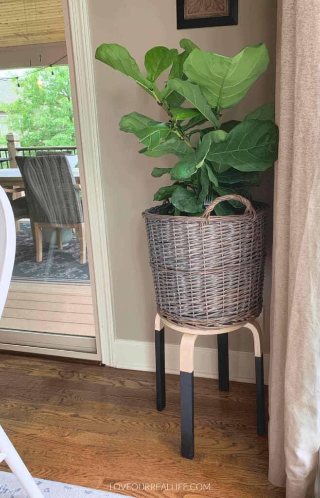 fiddle leaf fig on small stool