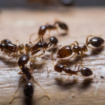 Close up of several ants sitting on piece of wood.